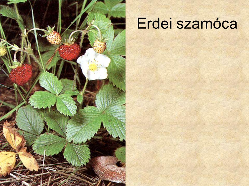 Erdei szamóca Bertram: Közép-Európa vadvirágai, Magyar Könyvklub Természetkalauz sorozat, 1998.