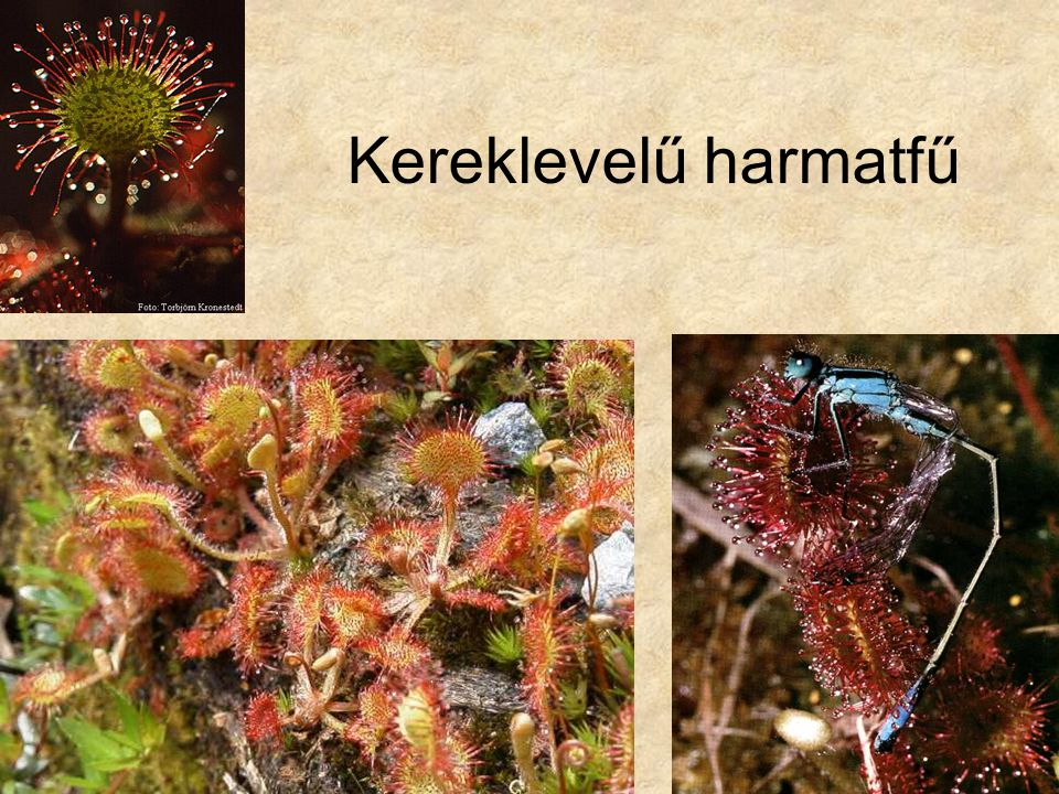 Kereklevelű harmatfű Jobb oldali kép: (Kereklevelű harmatfű kék légivadászt ejt foglyul) Az állatok viselkedése Szerk. Slater, Helikon Kiadó.