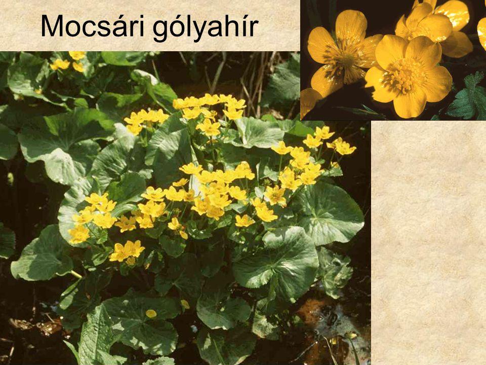 Mocsári gólyahír HERBÁRIUM – Magyarország növényei CD, Kossuth Kiadó