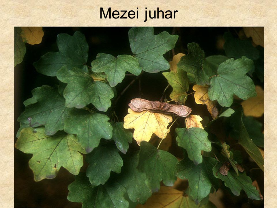 Mezei juhar Fák és cserjék CD, Kossuth Kiadó