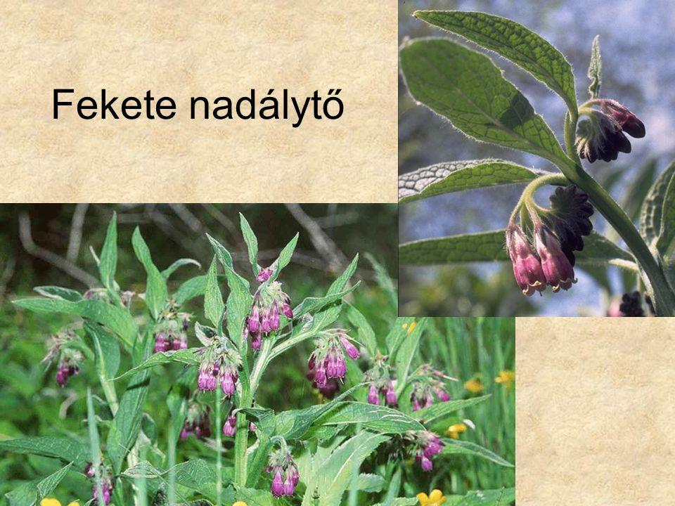 Fekete nadálytő Bal oldali kép: HERBÁRIUM – Magyarország növényei CD, Kossuth Kiadó.