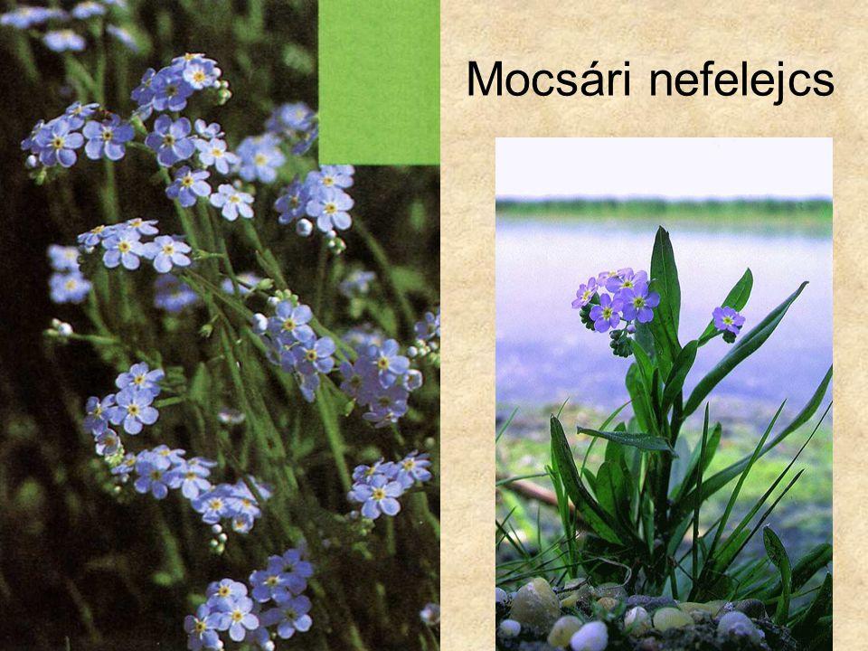 Mocsári nefelejcs Bal oldali kép: Bertram: Közép-Európa vadvirágai, Magyar Könyvklub Természetkalauz sorozat, 1998.