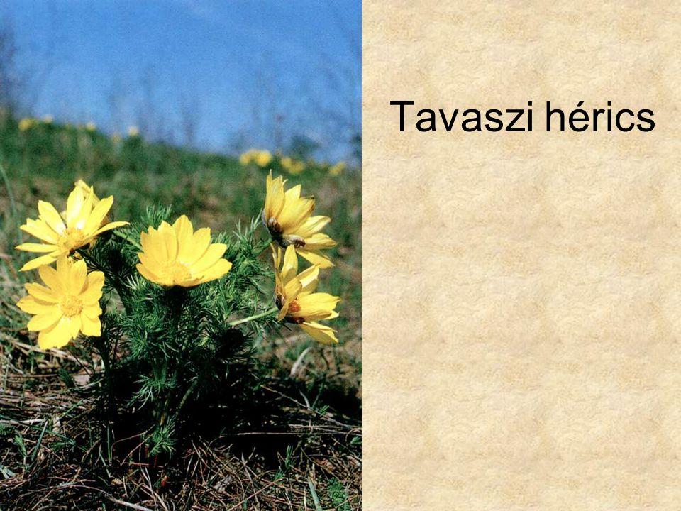 Tavaszi hérics Szerk. Farkas Sándor: Magyarország védett növényei, Mezőgazda Kiadó 1999.