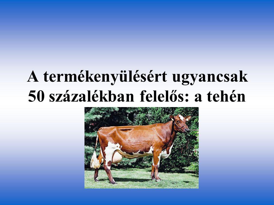 A termékenyülésért ugyancsak 50 százalékban felelős: a tehén