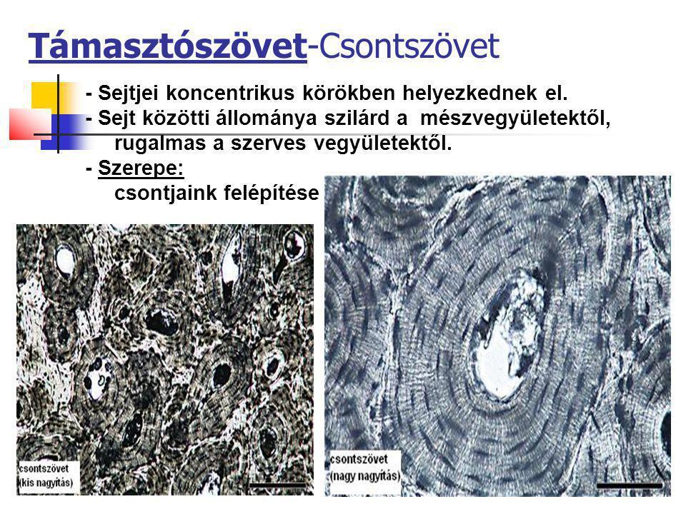 Támasztószövet-Csontszövet