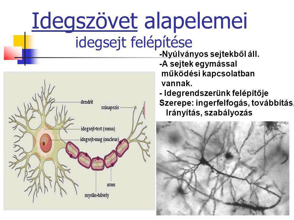 Idegszövet alapelemei idegsejt felépítése
