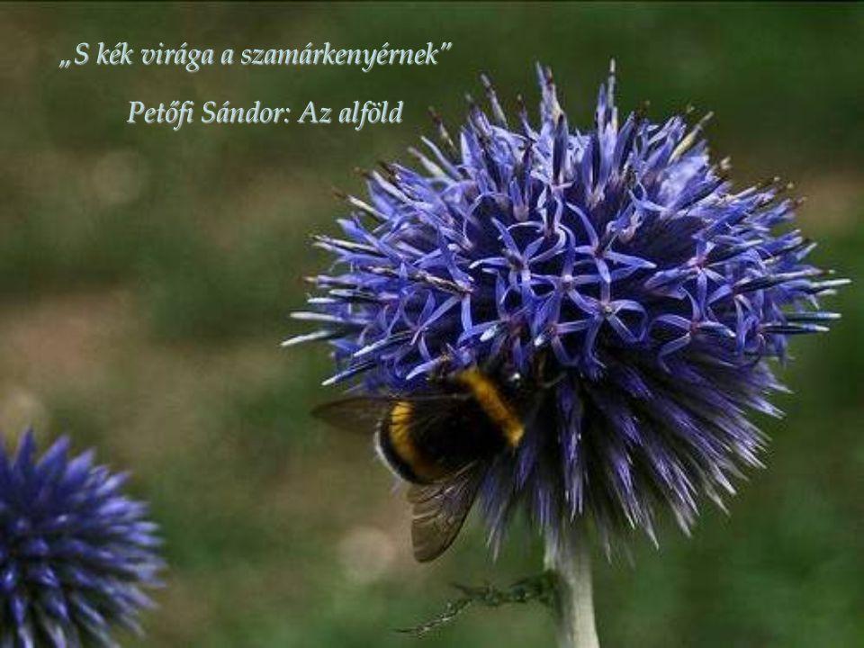 """""""S kék virága a szamárkenyérnek"""