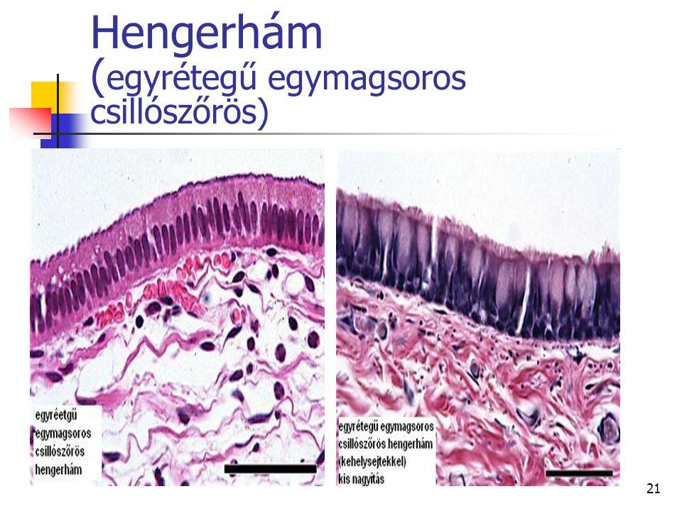 Hengerhám (egyrétegű egymagsoros csillószőrös)