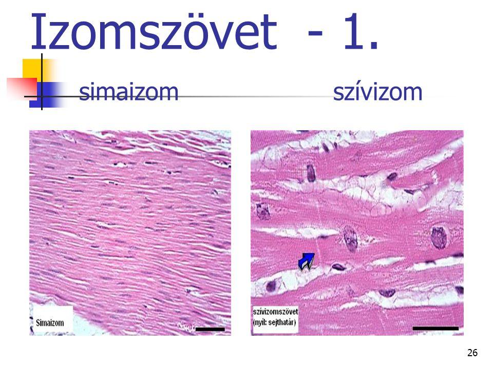 Izomszövet - 1. simaizom szívizom