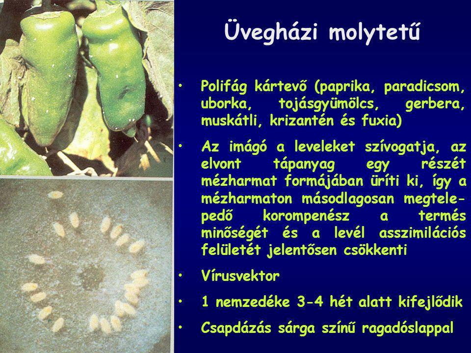 Üvegházi molytetű Polifág kártevő (paprika, paradicsom, uborka, tojásgyümölcs, gerbera, muskátli, krizantén és fuxia)