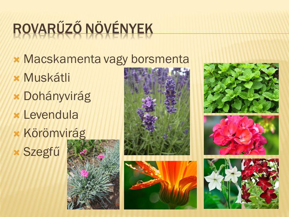 Rovarűző növények Macskamenta vagy borsmenta Muskátli Dohányvirág