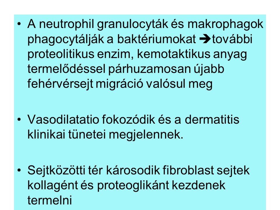 A neutrophil granulocyták és makrophagok phagocytálják a baktériumokat további proteolitikus enzim, kemotaktikus anyag termelődéssel párhuzamosan újabb fehérvérsejt migráció valósul meg