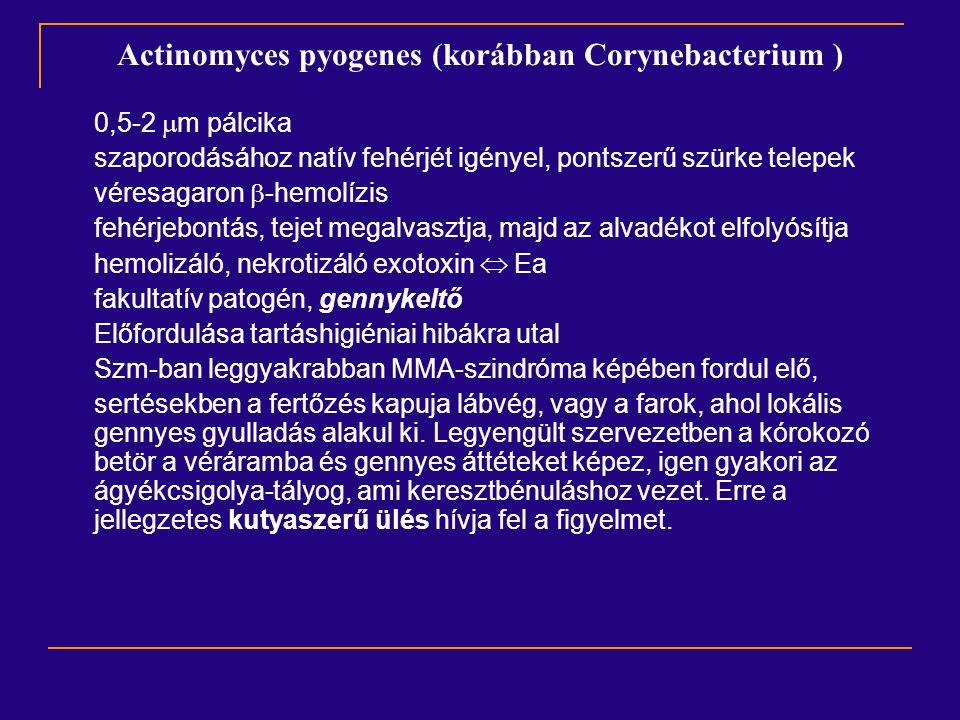 Actinomyces pyogenes (korábban Corynebacterium )