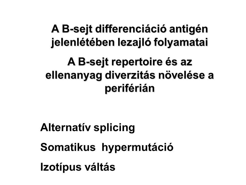A B-sejt differenciáció antigén jelenlétében lezajló folyamatai