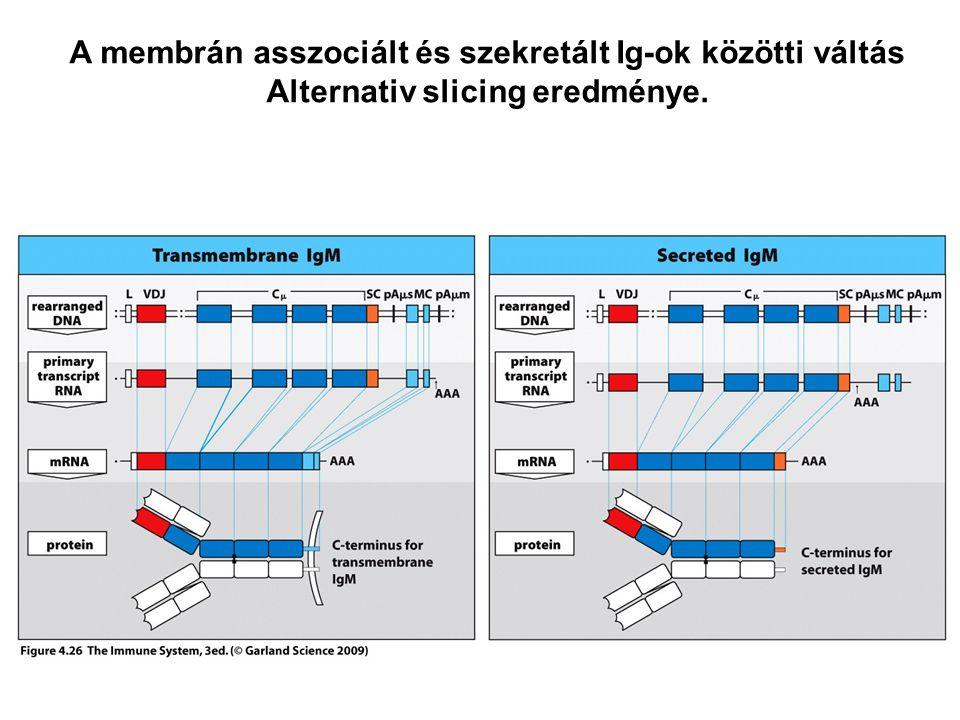 A membrán asszociált és szekretált Ig-ok közötti váltás