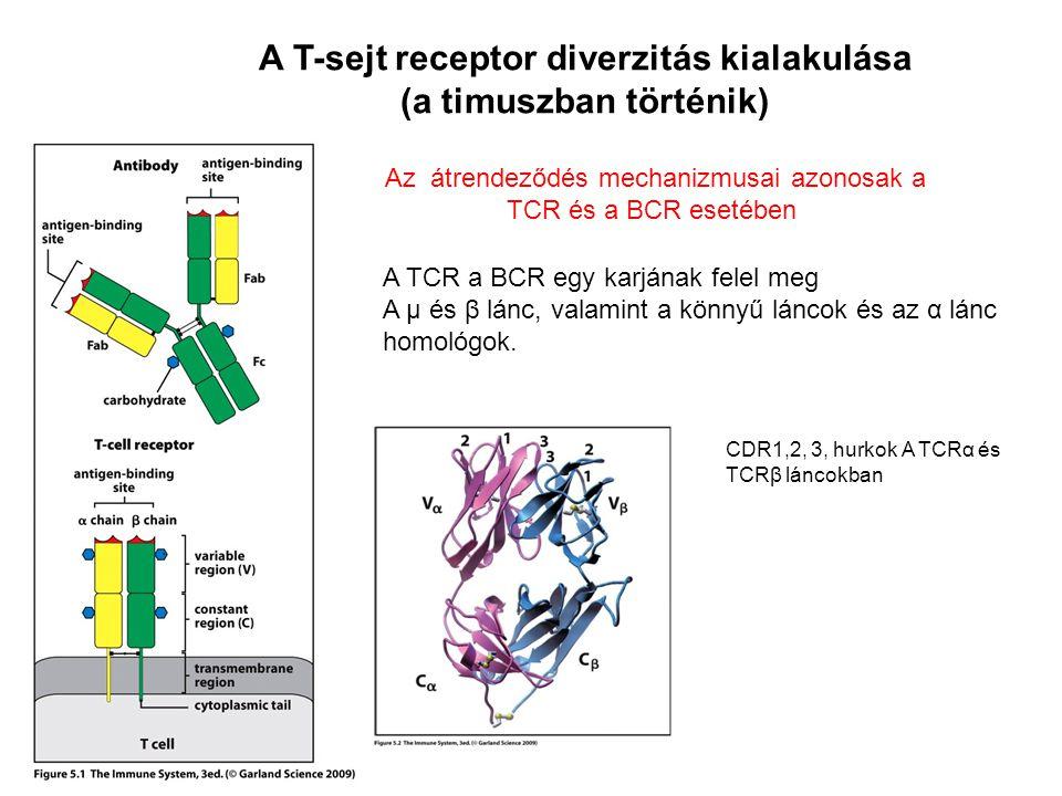A T-sejt receptor diverzitás kialakulása (a timuszban történik)