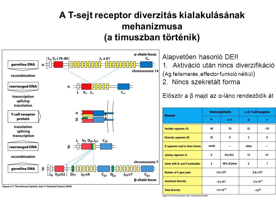 A T-sejt receptor diverzitás kialakulásának (a timuszban történik)