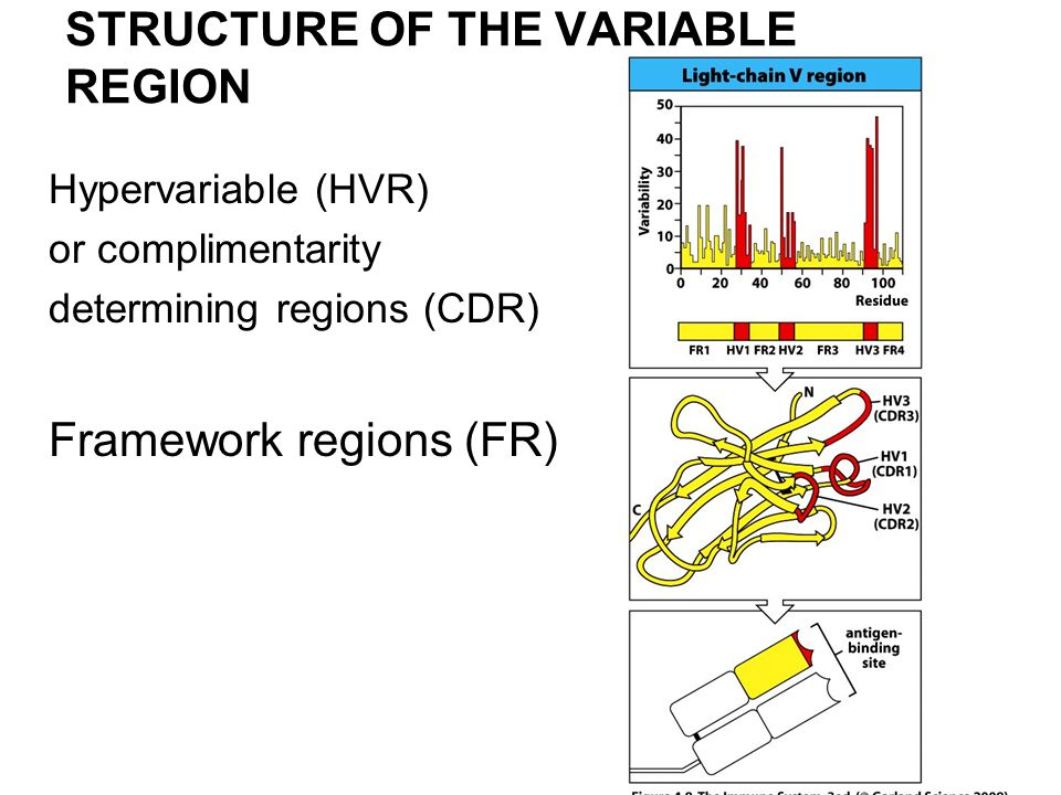 STRUCTURE OF THE VARIABLE REGION