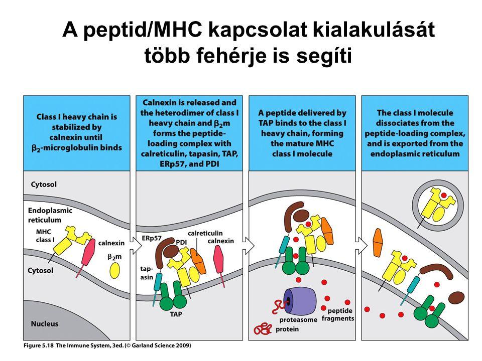 A peptid/MHC kapcsolat kialakulását több fehérje is segíti