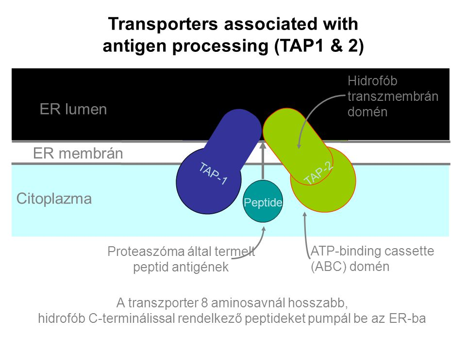 Transporters associated with antigen processing (TAP1 & 2)