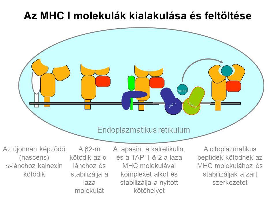 Az MHC I molekulák kialakulása és feltöltése