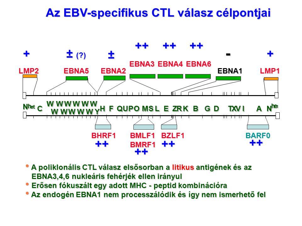Az EBV-specifikus CTL válasz célpontjai