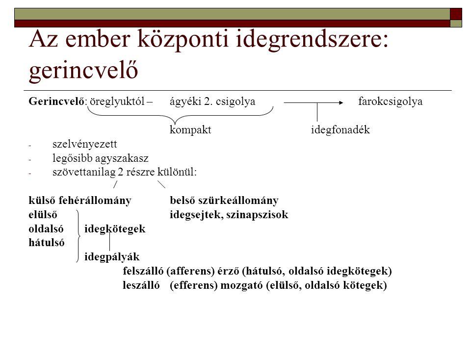 Az ember központi idegrendszere: gerincvelő