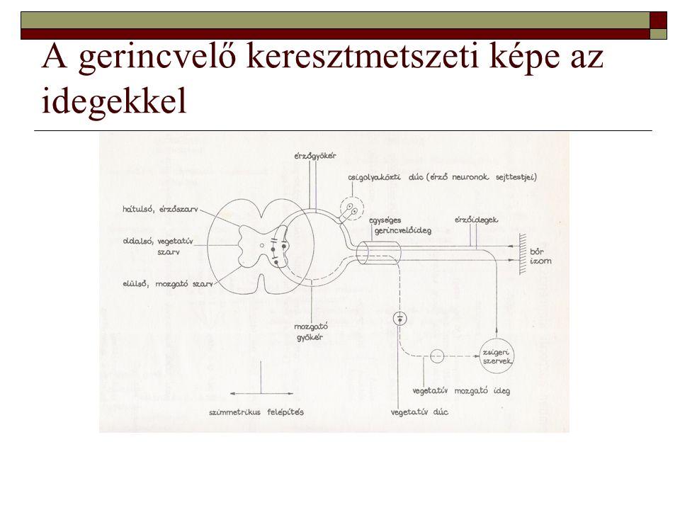 A gerincvelő keresztmetszeti képe az idegekkel