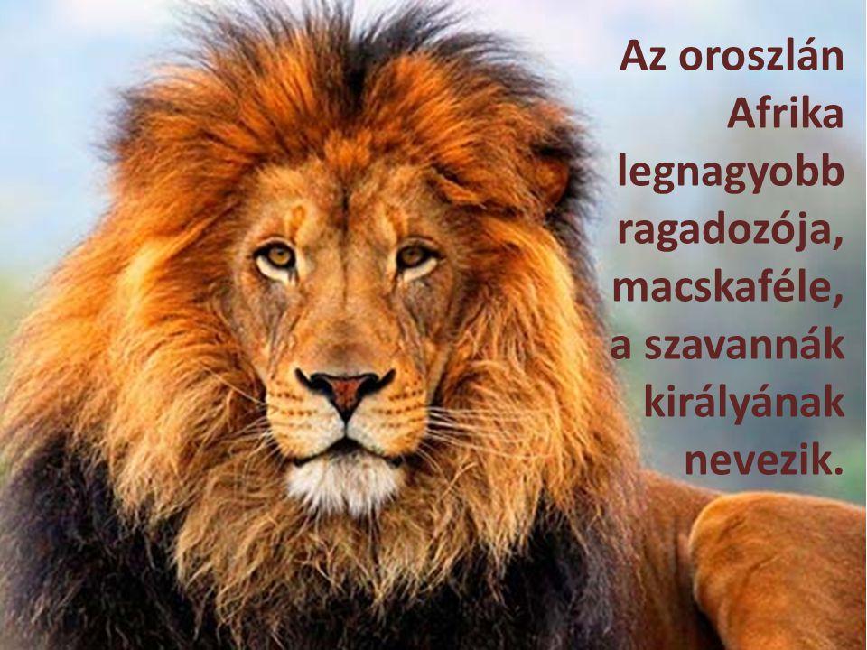 Az oroszlán Afrika legnagyobb ragadozója, macskaféle, a szavannák királyának nevezik.