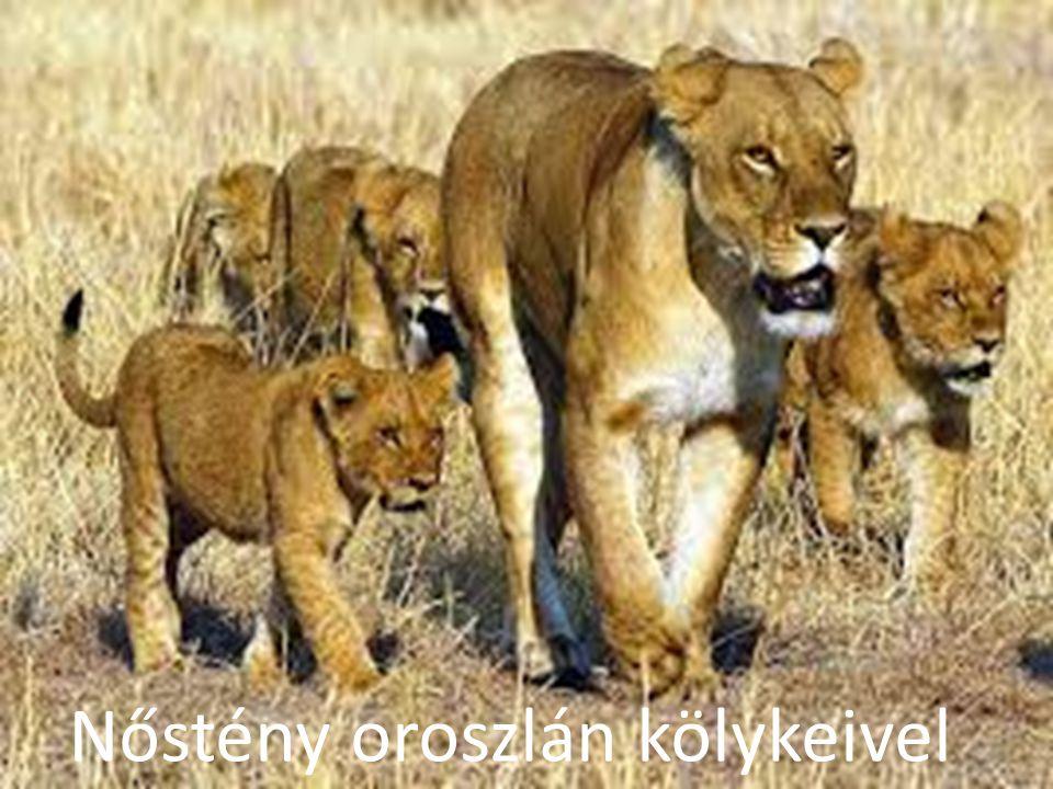 Nőstény oroszlán kölykeivel