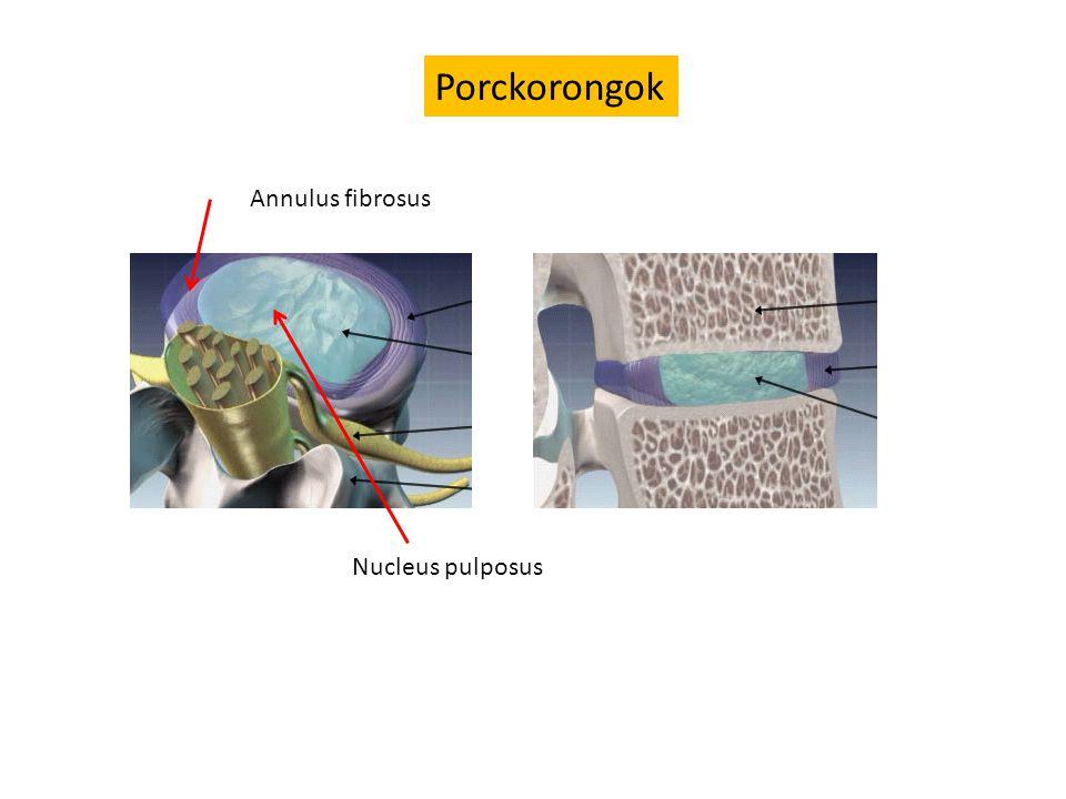 Porckorongok Annulus fibrosus Nucleus pulposus