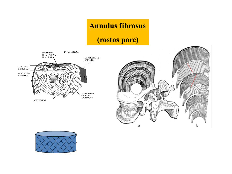 Annulus fibrosus (rostos porc)