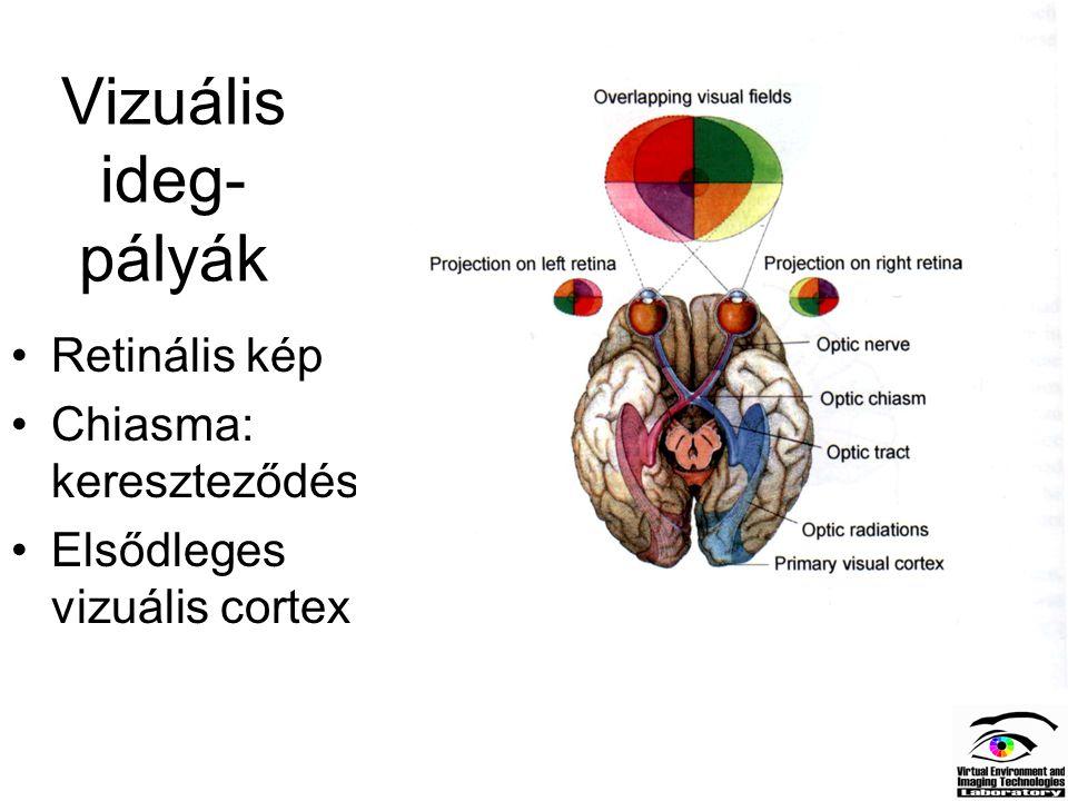 Vizuális ideg-pályák Retinális kép Chiasma: kereszteződés