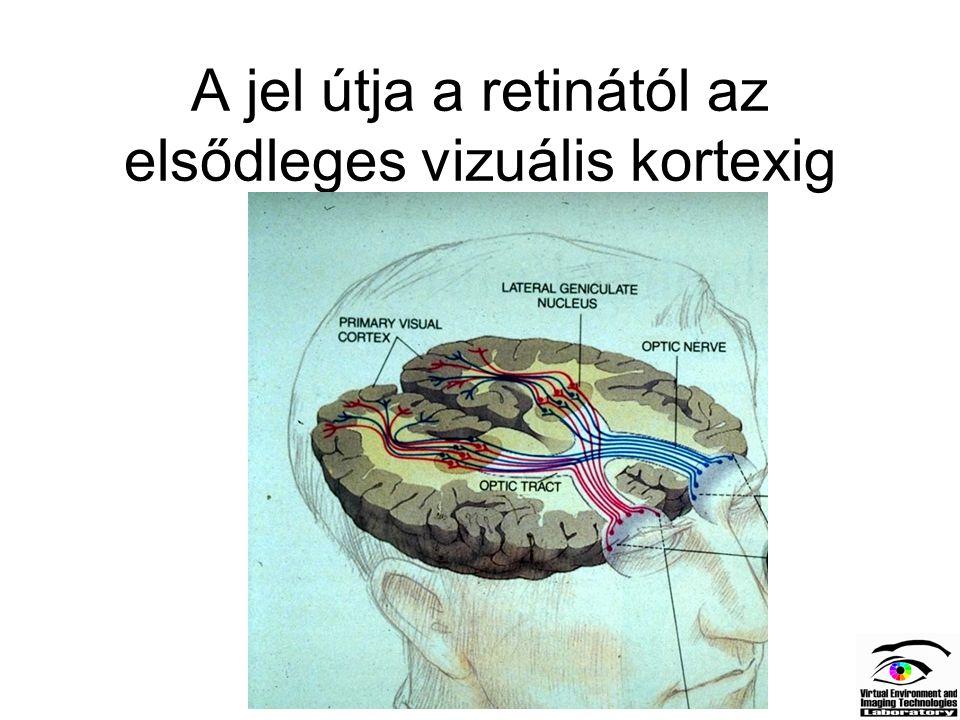 A jel útja a retinától az elsődleges vizuális kortexig