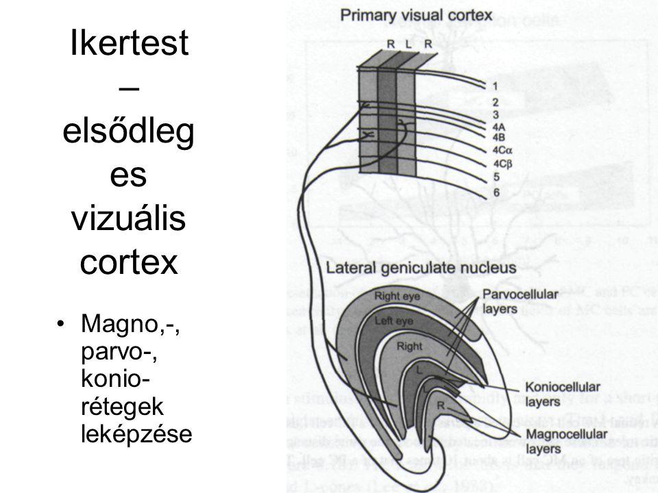 Ikertest – elsődleges vizuális cortex