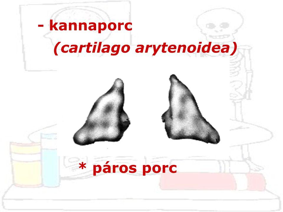 - kannaporc (cartilago arytenoidea) * páros porc
