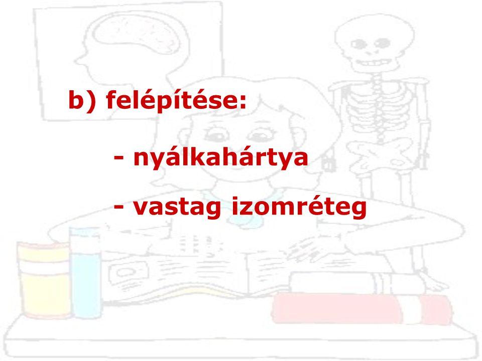 b) felépítése: - nyálkahártya - vastag izomréteg