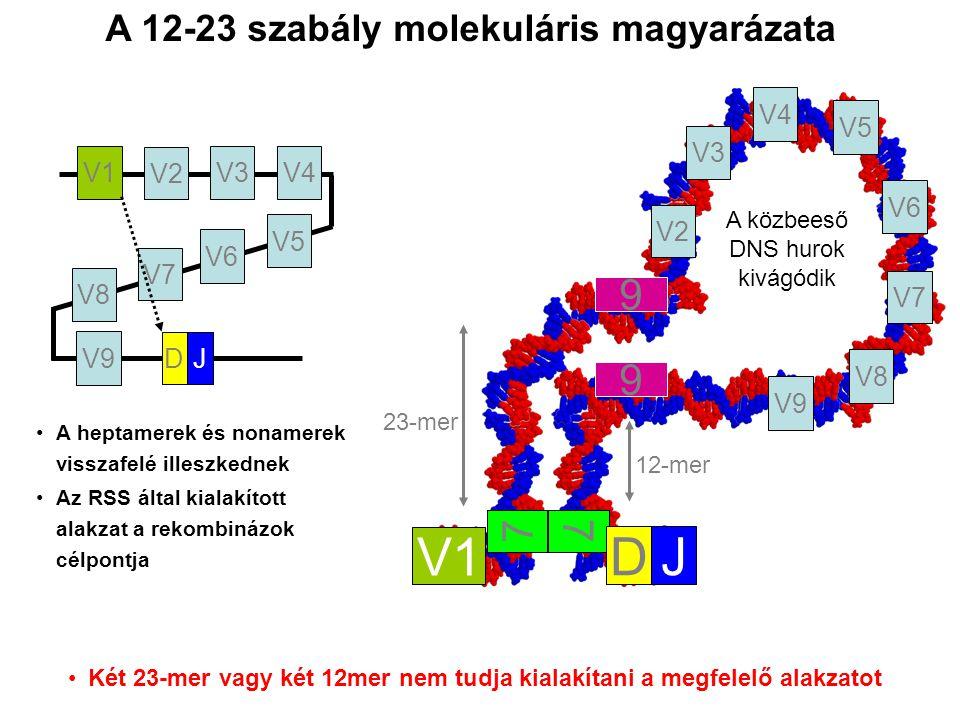 V1 D J 9 7 A 12-23 szabály molekuláris magyarázata V2 V3 V4 V8 V7 V6
