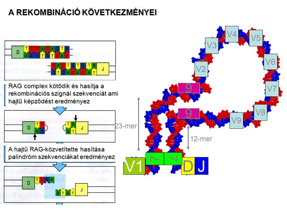 V1 D J 9 7 A REKOMBINÁCIÓ KÖVETKEZMÉNYEI V4 V5 V3 V6 V2 V7 V8 V9