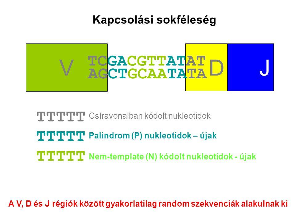 V D J TCGACGTTATAT AGCTGCAATATA TTTTT Kapcsolási sokféleség