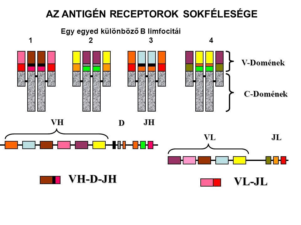 AZ ANTIGÉN RECEPTOROK SOKFÉLESÉGE Egy egyed különböző B limfocitái