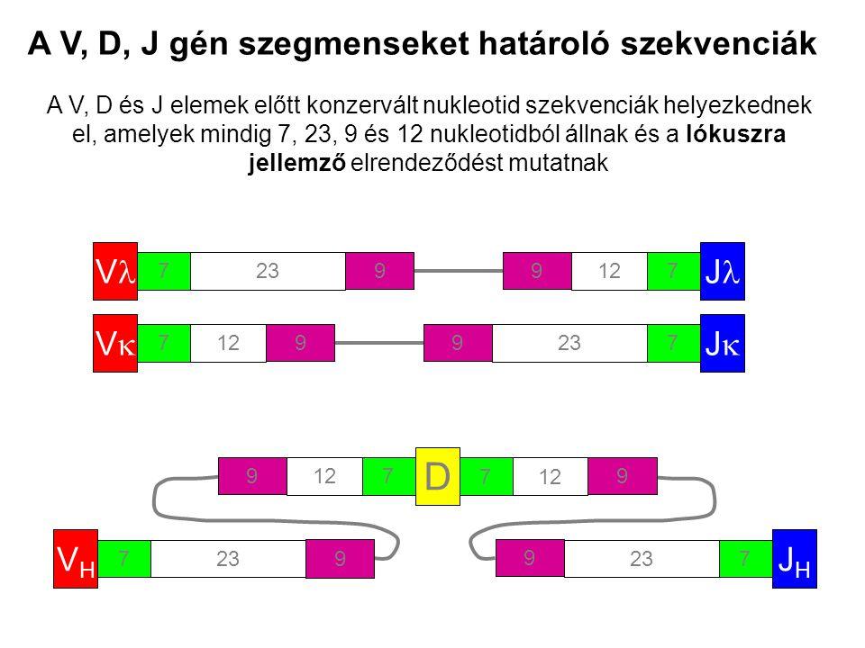 A V, D, J gén szegmenseket határoló szekvenciák