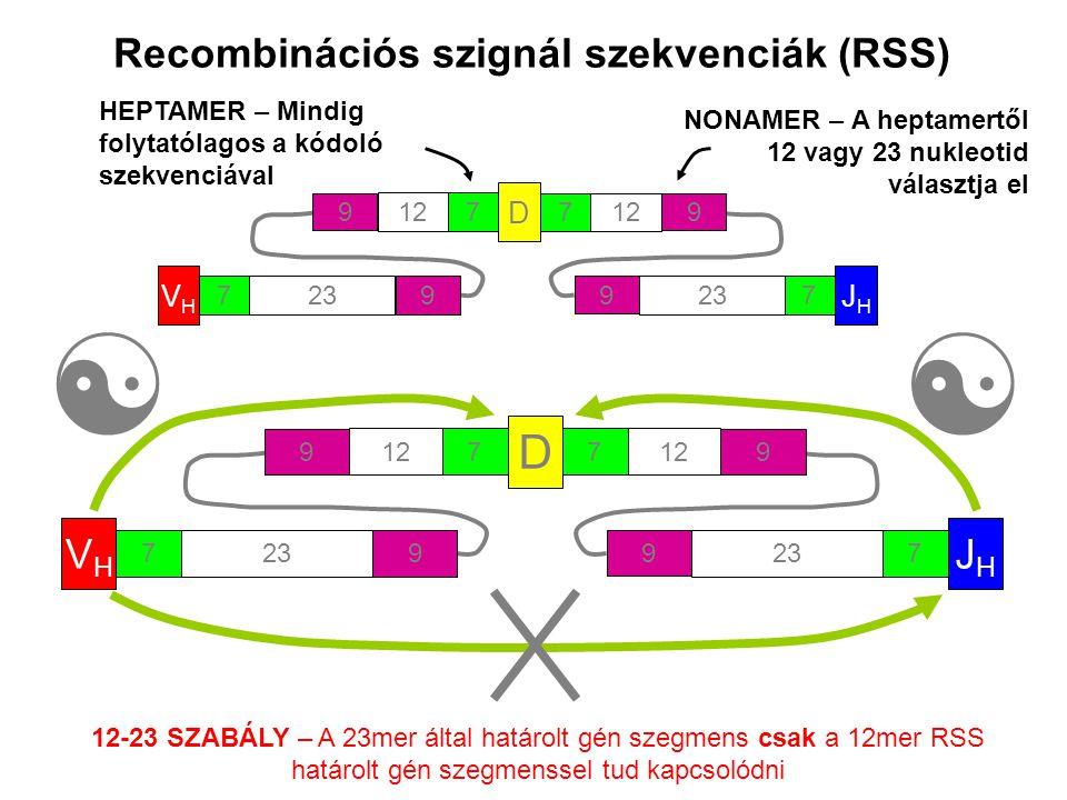 Recombinációs szignál szekvenciák (RSS)