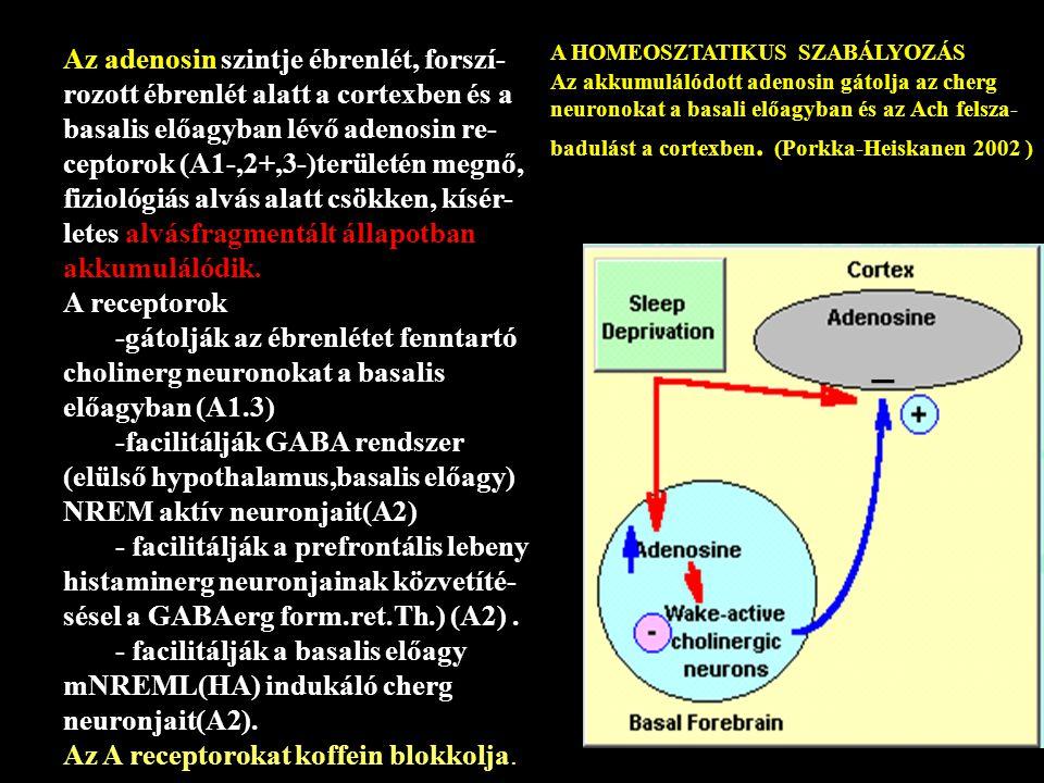 Az adenosin szintje ébrenlét, forszí-rozott ébrenlét alatt a cortexben és a basalis előagyban lévő adenosin re-ceptorok (A1-,2+,3-)területén megnő, fiziológiás alvás alatt csökken, kísér-letes alvásfragmentált állapotban akkumulálódik.
