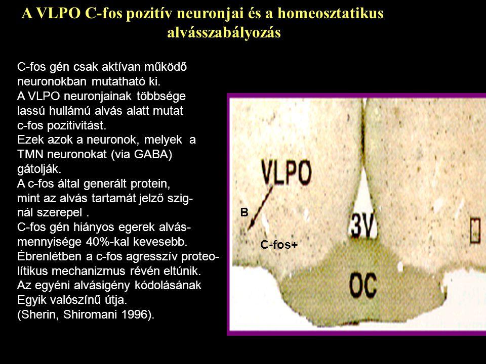 A VLPO C-fos pozitív neuronjai és a homeosztatikus alvásszabályozás