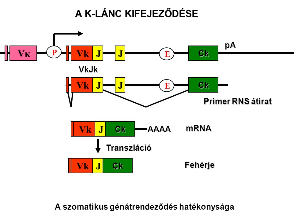 A szomatikus génátrendeződés hatékonysága