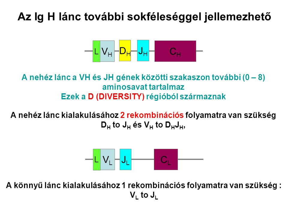 Az Ig H lánc további sokféleséggel jellemezhető