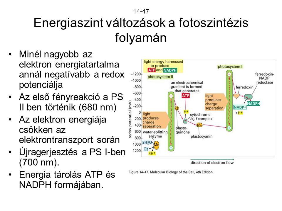14-47 Energiaszint változások a fotoszintézis folyamán