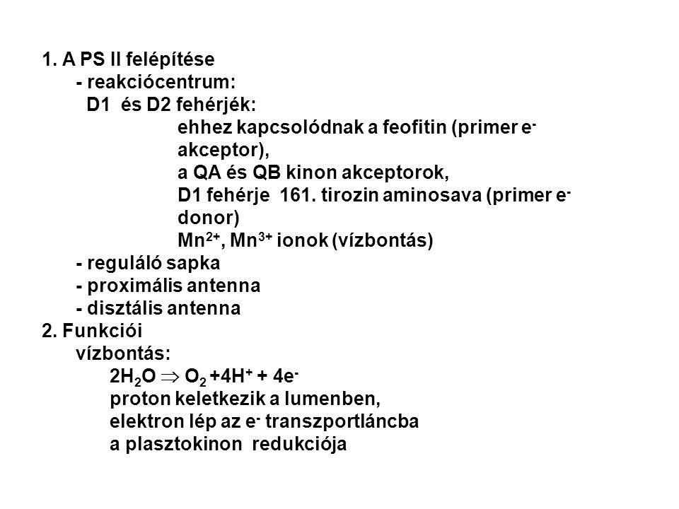 1. A PS II felépítése - reakciócentrum: D1 és D2 fehérjék: ehhez kapcsolódnak a feofitin (primer e- akceptor),