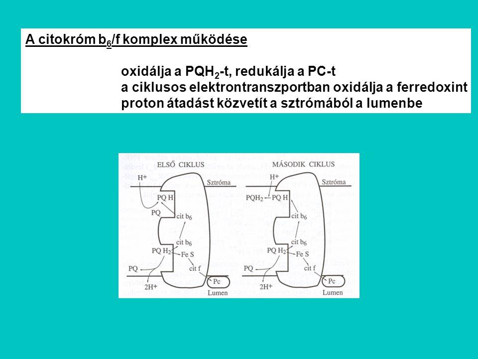 A citokróm b6/f komplex működése